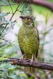Wild Satin Bower Bird, Queen Mary Falls, Queensland, Australia, March 2018. Perched in a tree. Beautiful blue eyes. Ptilonorhynchus violaceus stock images