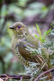 Wild Satin Bower Bird, Queen Mary Falls, Queensland, Australia, March 2018. Perched in a tree. Beautiful blue eyes. Ptilonorhynchus violaceus royalty free stock photos