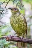 Wild Satin Bower Bird, Queen Mary Falls, Queensland, Australia, March 2018. Perched in a tree. Beautiful blue eyes. Ptilonorhynchus violaceus stock image