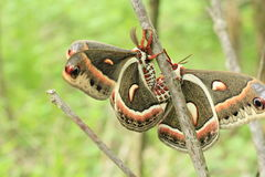 Wild Saturniid Silk Moth Stock Photo