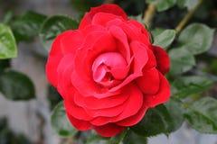 Wild scarlet rose royalty free stock photos