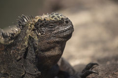 Wild scene of lizard close up in galapagos island Stock Photography