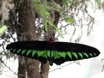 Wild scene nature, big butterfly on tree branch. Beautiful colour black and green butterfly standing on a branch Royalty Free Stock Image