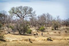Wild scenic landscape in Kruger National park, South Africa Stock Image