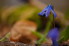 Wild Scilla siberica Stock Photo