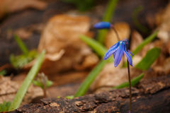 Wild Scilla siberica Stock Photos