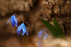 Wild Scilla siberica Royalty Free Stock Photography
