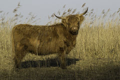 Wild Scottish Highlander Stock Photo