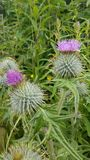 Thistles. Wild scottish thistles stock photo
