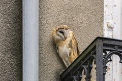 Wild screech owl peering sideways from balcony of building in city stock image