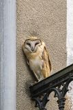 Wild screech owl peering straight from balcony of building in city stock image