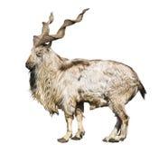 Wild screw-horned goat (markhor) Royalty Free Stock Photos