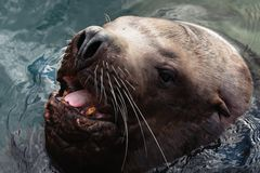 Wild sea animal Steller Sea Lion swims in cold waves Pacific Ocean stock image