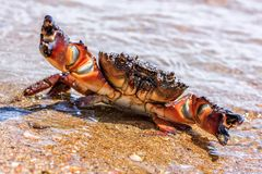 Wild sea crab with threatening claws in defending pose on sandy beach by water at summer. Wild sea crab with threatening claws in defending pose on sandy beach stock images