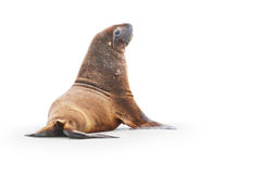 Wild sea lion on beach. Looking forwards stock images