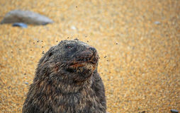 Sea lion and flies. Wild sea lion on the beach, New Zealand Stock Images