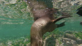 Wild sea lion group swimming underwater stock footage
