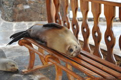 Wild sea lion a little tired and decided to sleep on the benches. Royalty Free Stock Photography