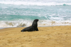 Wild sea lion stands on a beach, Otago, New Zealand Stock Image