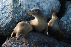 Wild sea lions Stock Images