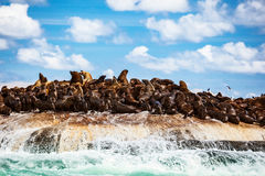 Wild sea lions on the island. Wild seals colony on the stony island, great sea animals, beautiful landscape of Atlantic ocean, extreme safari tourism, Hout Bay Royalty Free Stock Photos