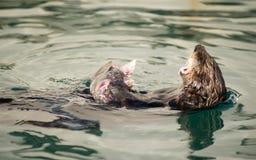 Wild Sea Otter Eats Fresh Fish Reserrection Bay Animal Wildlife Royalty Free Stock Images