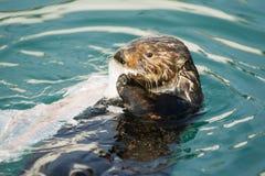 Wild Sea Otter Eats Fresh Fish Reserrection Bay Animal Wildlife Royalty Free Stock Photo