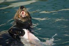 Wild Sea Otter Eats Fresh Fish Reserrection Bay Animal Wildlife Stock Photography