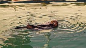 Wild Sea Otter Eats Fresh Fish Reserrection Bay Animal Wildlife stock video