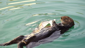 Wild Sea Otter Eats Fresh Fish Resurrection Bay Animal Wildlife