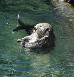 Wild Sea Otter Stock Photo