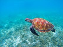 Wild sea turtle in blue ocean closeup. Green sea turtle closeup. Endangered species of tropical coral reef. Tortoise photo. Tropic seashore fauna. Summer Royalty Free Stock Photography