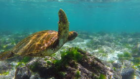 Wild sea turtle swimming underwater in galapagos stock footage