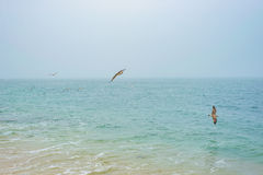 Wild Seagull Birds Flying And Searching Food Over Sea Ocean Water Royalty Free Stock Photography