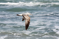 Wild Seagull in Flight Royalty Free Stock Photography