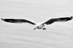 Wild seagull flying Royalty Free Stock Photography