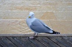 Wild seagull standing. On wooden pier Stock Photos
