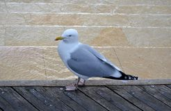 Wild seagull standing. On wooden pier Royalty Free Stock Photography