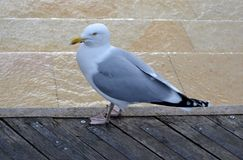 Wild seagull standing. On wooden pier Stock Image