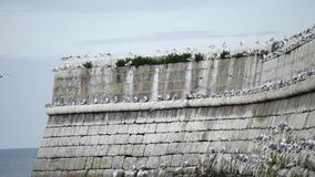 Wild Seagulls at Aberdeen Beach, Scotland stock footage