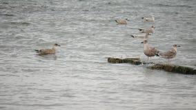 Wild Seagulls at Aberdeen Beach, Scotland stock video footage
