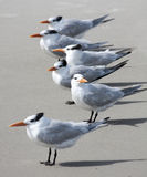 Wild Seagulls on the Beach stock image