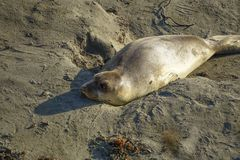 Wild Seal laying in the sand stock images
