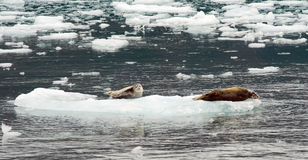 Wild Seal Lions Iceburg Aialik Bay Kenai Fjords Alaska Stock Photography