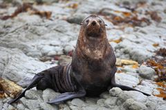 Wild seal at Seal colony Stock Photography