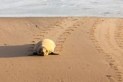 Wild seal waddling up the beach Royalty Free Stock Photos