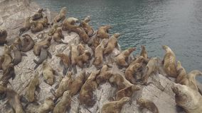 Wild sealions sitting on rocky cliff in pacific ocean aerial view from above flying drone. Group sea lions resting on stock video footage