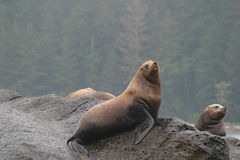 Wild seals on rock Stock Image