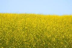 wild senapsgultt rapa för brassica royaltyfria bilder