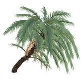 Wild or Senegal date palm tree, phoenix reclinata Royalty Free Stock Photo